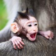 Malutki makak