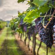 Kraina wina, oliwy i tradycji