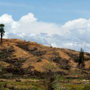 Dżungla Borneo wycięta pod uprawy palm