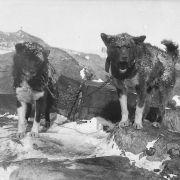 Bazyliszek i Imbir - dwa psy uczestników wyprawy