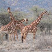Żyrafa siatkowana