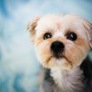 """""""Oczy szczeniaka"""" to produkt ewolucji. Powstały, by topić ludzkie serca"""