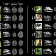 Skany psich mózgów