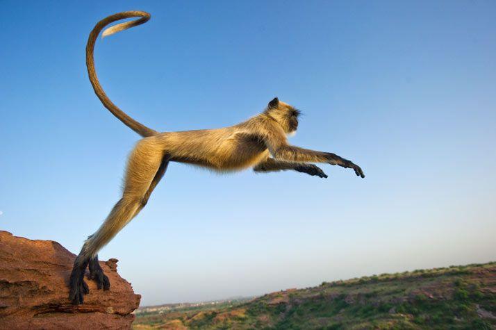 01-leaping-langur-714