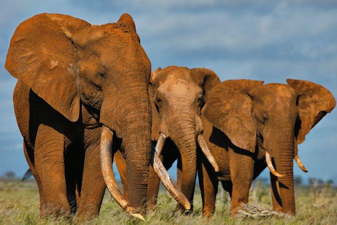 01-elephants-tusks-670