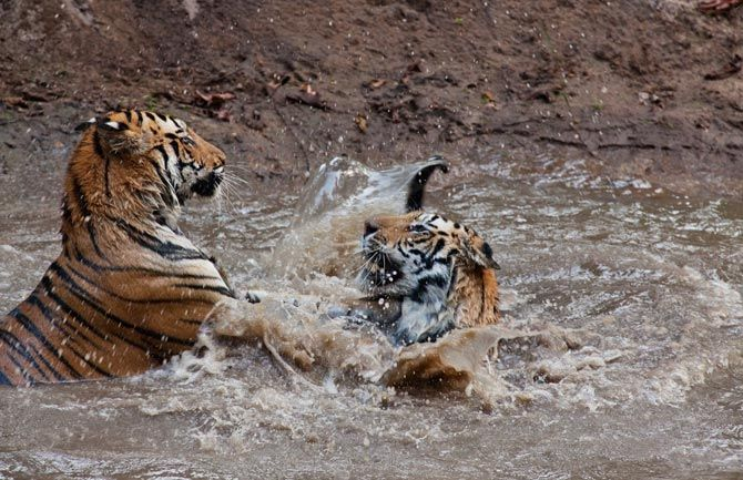 11-captive-tigers-play-with-each-other-670