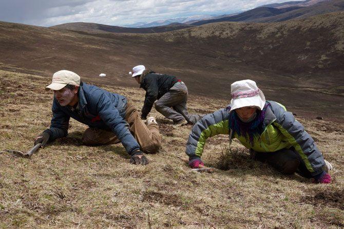 Chińska medycyna naturalna wykorzystuje je od setek lat, jednak dopiero teraz tybetańskie grzybki robią niespodziewaną karierę na świecie.