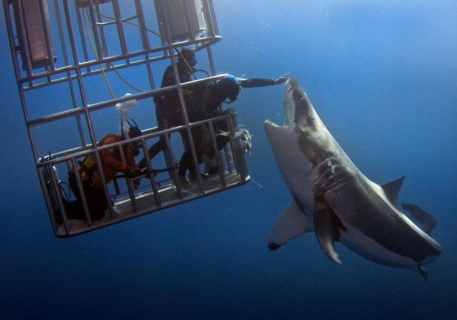 01great_white_shark.adapt.1190.1