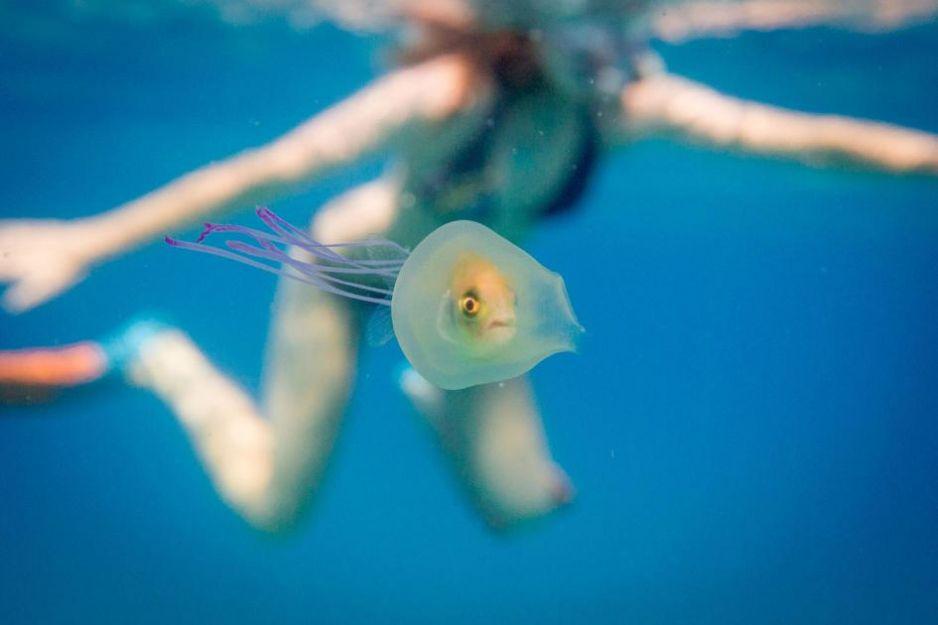 rybka meduza uwięziona pech