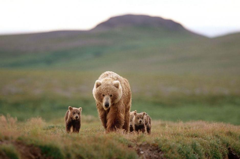 Niedźwiedzie używają ludzkich tarcz