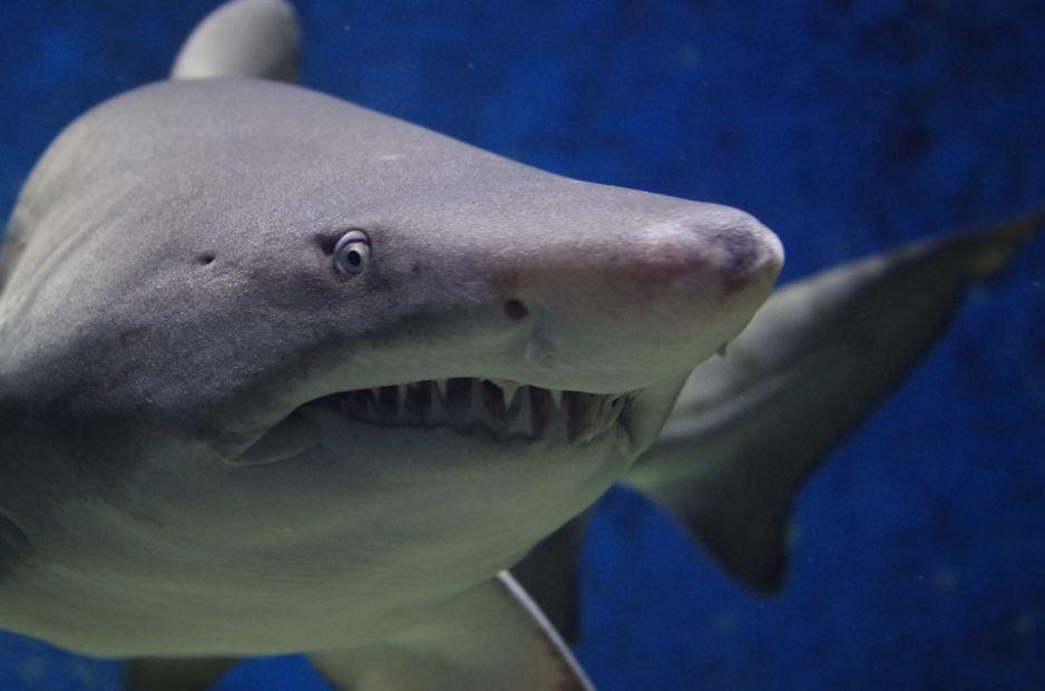 Rekiny z dzieworództwa