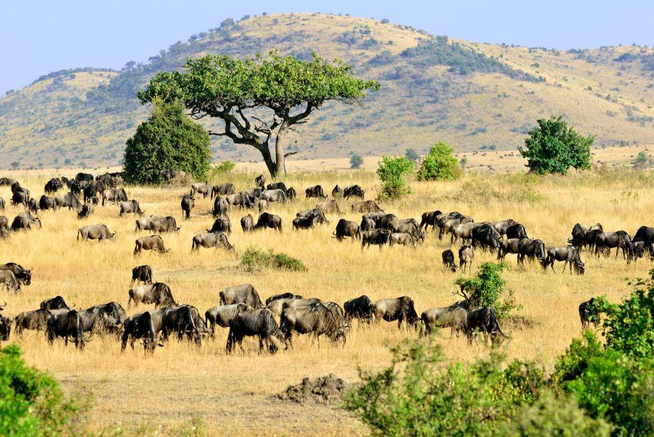Kenia - lwy i zyrafy czekają