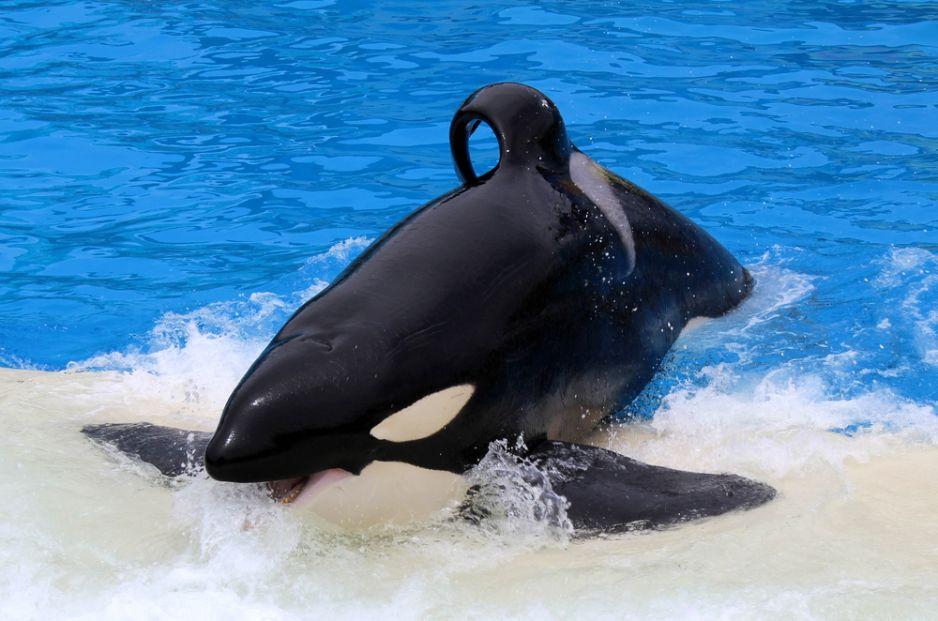 Chcą dowiedzieć się więcej o menopauzie badając orki