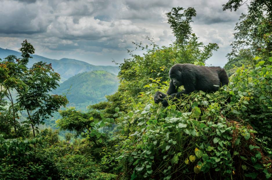 Spotkanie z gorylami górskimi w Parku Narodowym Bwindi to dla wielu turystów doświadczenie metafizyczne.