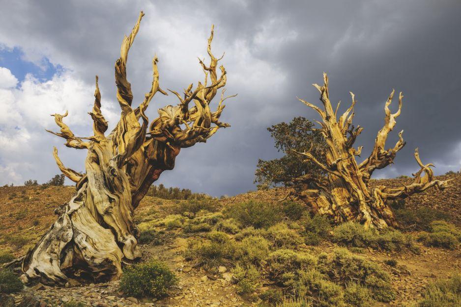 SOSNY DŁUGOWIECZNE - las państwowy Inyo, Kalifornia, Stany Zjednoczone
