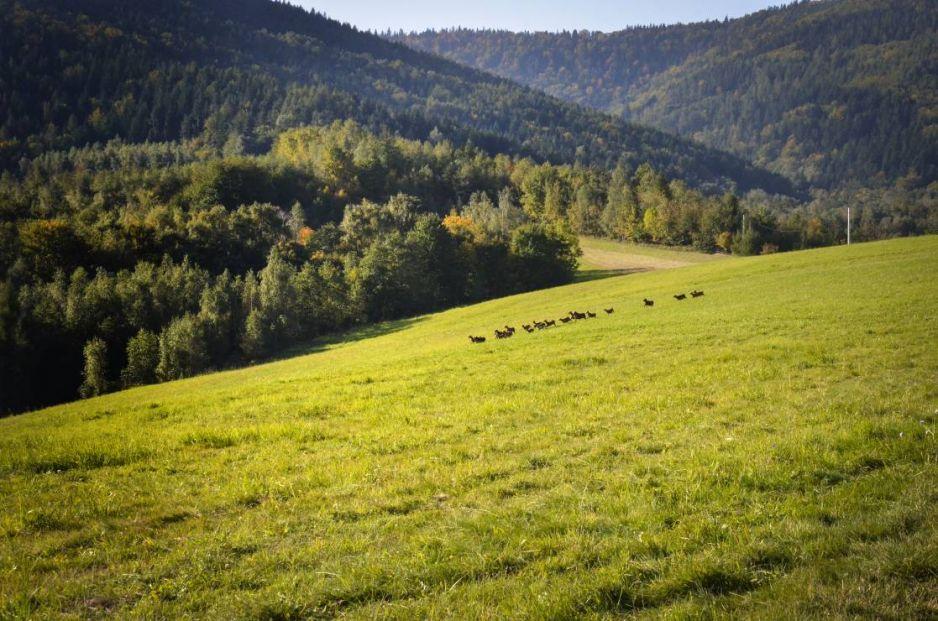 Dzikie i płochliwe owce kaukaskie na przełęczy Kocierz