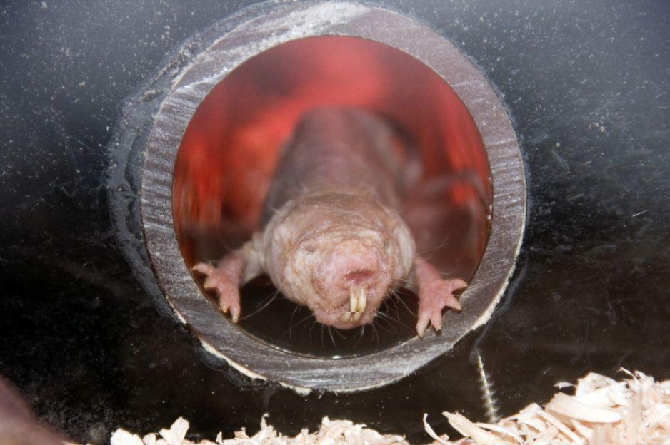 Kretoszczur