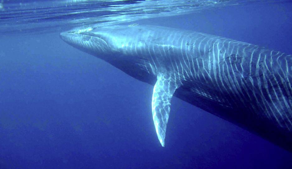 Płetwal Bryde'a