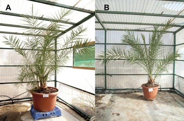 Nasiona, z których wyrosły palmy, mają ponad 2000 lat (fot. Science Advences)