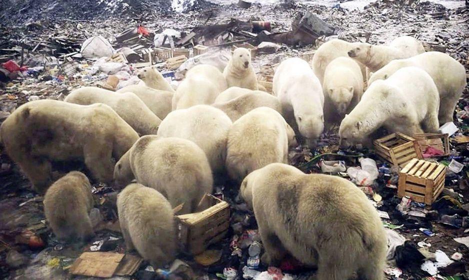 """Inwazja polarnych niedźwiedzi w Rosji. """"Ludzie się boją"""""""