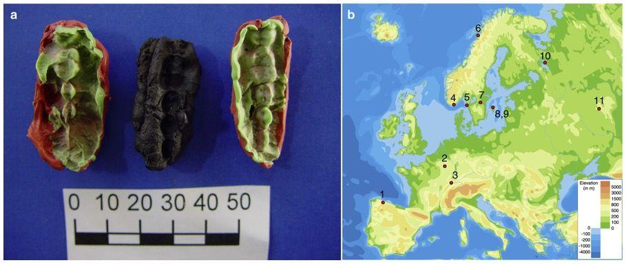 Starożytne gumy do życia i miejsce ich odnalezienia