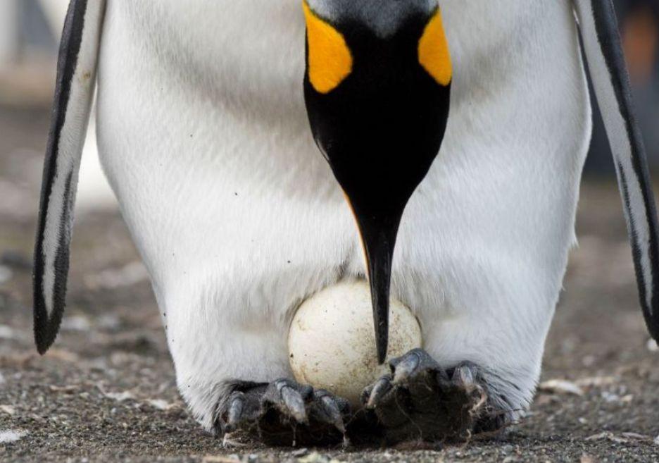 Para pingwinów gejów