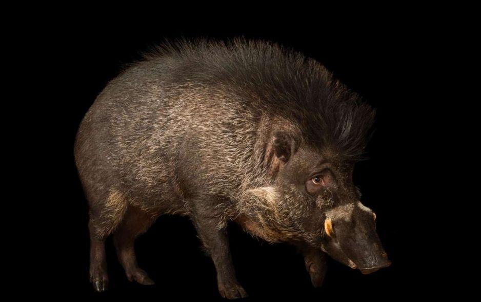 Świnia wisajska
