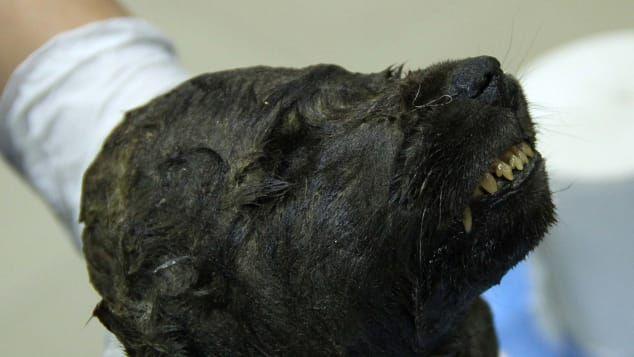 Pies czy wilk? Naukowcy badają zamarznięte szczątki 18000-letniego szczeniaka