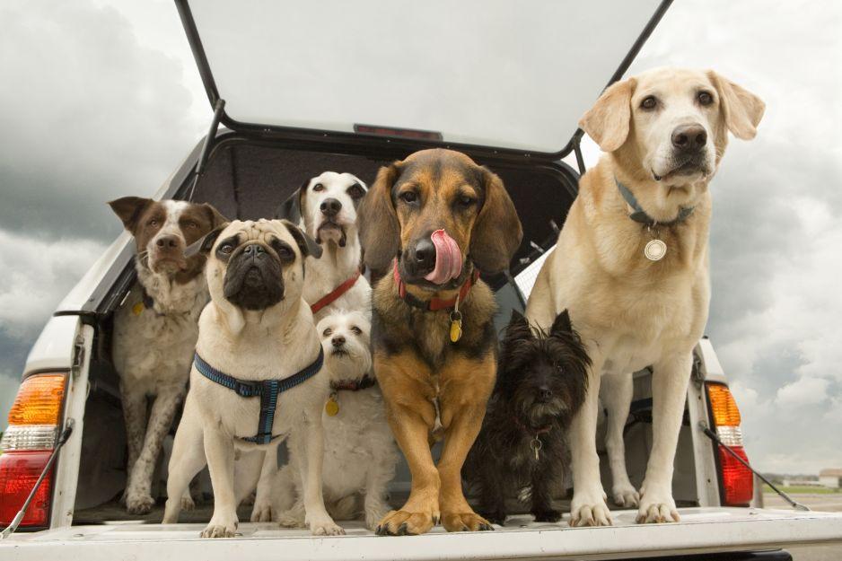 Psy udomowiono o wile wcześniej, niż początkowo sądziliśmy (fot. Getty Images)