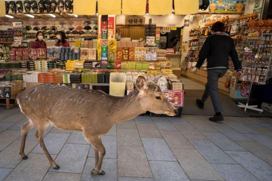 Zwierzęta wchodzą do miast w poszukiwaniu pożywienia (fot. Getty Images)
