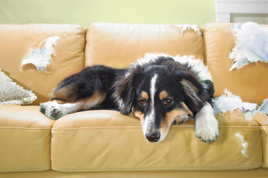 Nawet 20 proc. psów cierpi z powodu tego, co ogólnie nazywamy lękiem separacyjnym (fot. Getty Images)