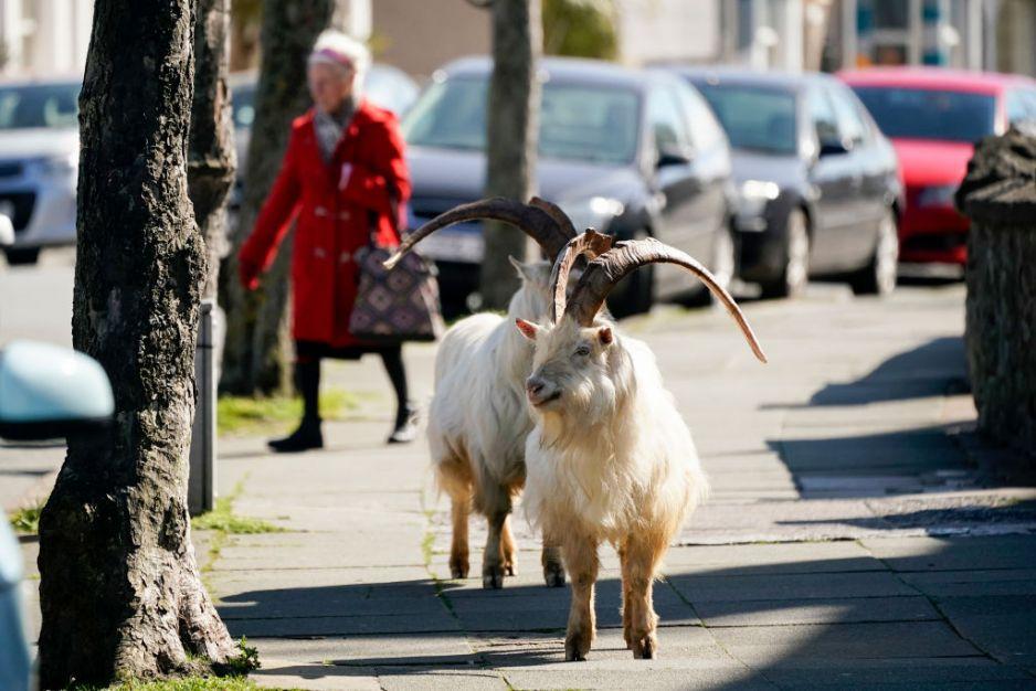 Kozy wędrują po Llandudno, mieście w północnej Walii, gdy ulice są opustoszałe z powodu koronawirusa  fot. Getty Images