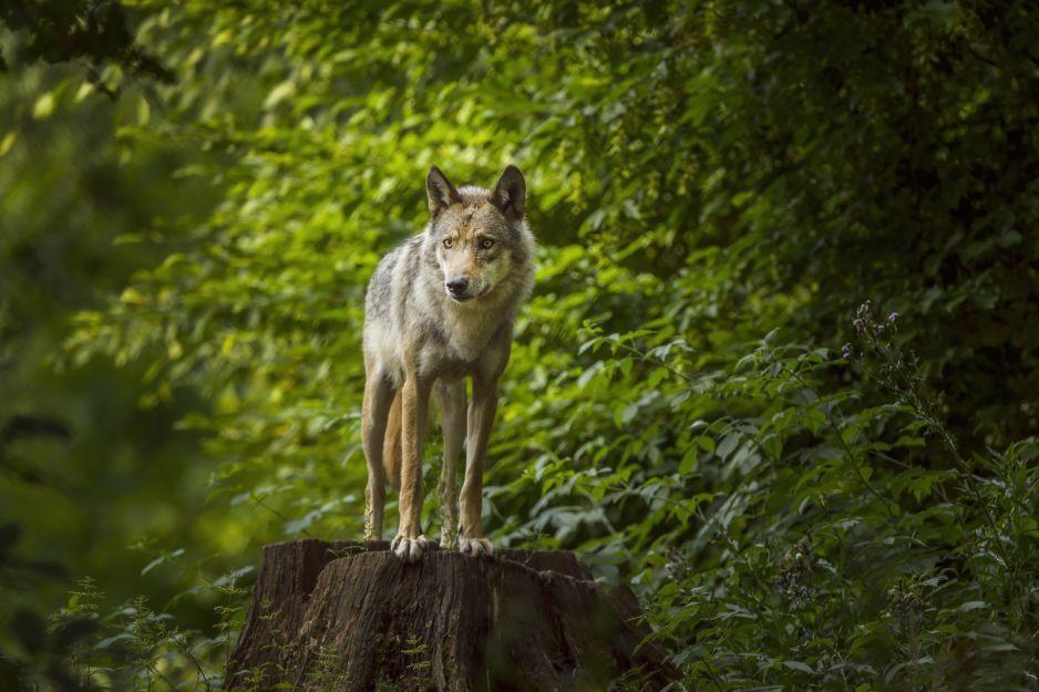 Na kilka dekad wilki zniknęły z podwarszawskiego parku (fot. Getty Images)