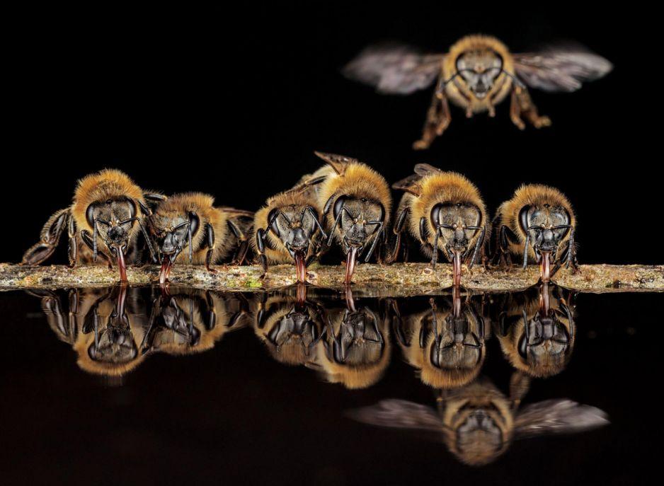 1.Rurkowatymi języczkami pszczoły miodne z Langen w Niemczech siorbią wodę, by zanieść ją do gniazda, gdzie zostanie użyta do klimatyzacji.