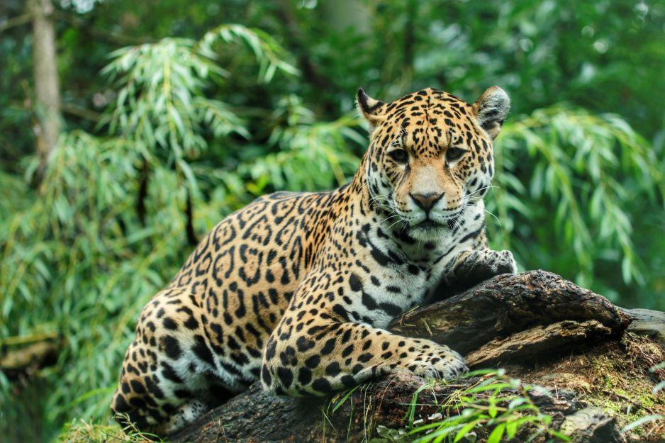 Populacja jaguarów podwoiła się w ciągu 15 lat (fot. Getty Images)