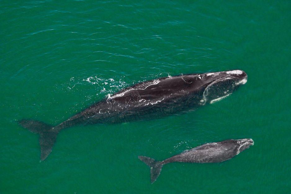 Samica wieloryba z Północnego Atlantyku i jej nowe cielę pływają u wybrzeży Florydy. Na Ziemi pozostało tylko 400 takich ssaków morskich (Photograph by Brian J. Skerry, Nat Geo Image Collection)