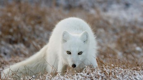 lisek_polarny_na_Prudhoe_Bay