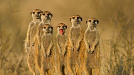 Suricate_or_meerkat