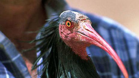 Uznany za wymarły gatunek jednak żyje, choć jego kolonia wciąż się zmniejsza.