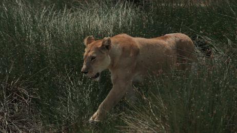 Drapieżnik: Gepard
