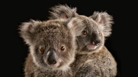 Puszysty symbol Australii jest zagrożony. Czy państwu uda się ocalić malejącą społeczność koali?