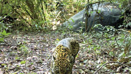 Jaguar_IMG_0278-R47-Jaguar1_opt