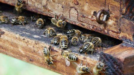 pszczoly_02