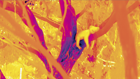 Misie koala chłodzą się w nocy