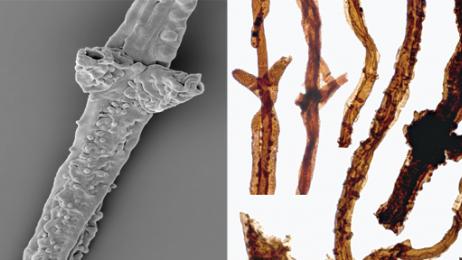 fossil-fungi