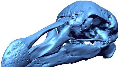 DRP Port Louis Dodo Skull Claessens 1