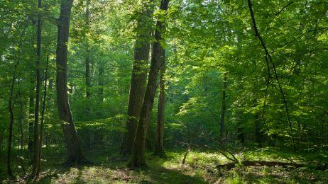 Puszcza Białowieska może zniknąć z listy UNESCO