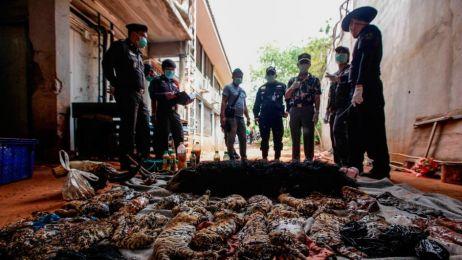 tygrysy świątynia tajlandia