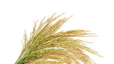W Japonii odkryto pole ryżowe sprzed 2500 lat