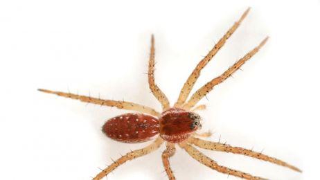 Wielkie pająki wypuszczone na wolność w Wielkiej Brytanii
